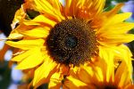 SUNflower by mr-wizard-photo