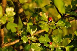 Spring friends - ladybugs by Lk-Photography