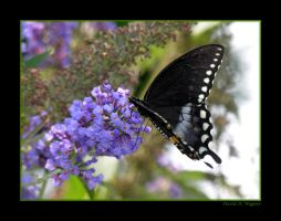 Spicebush Swallowtail I by David-A-Wagner