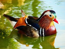 Mandarin Duck by vollyy