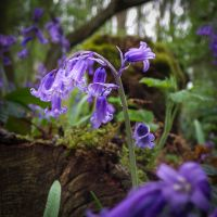 Bluebell Woods by waggysue