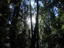Sun through the Redwoods by dragondoodle