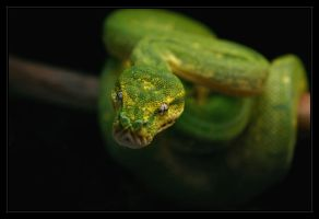 """Isabelle"", Green Tree Python by oOBrieOo"