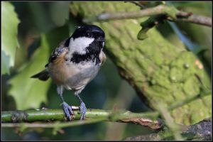 Coal Tit by cycoze