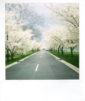Cherry Blossoms by jesuswasblack