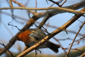 European Red Robin - London Wetland Centre by Shadow848327