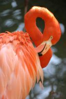 Caribbean Flamingo 02 by 1ASP1