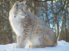 Lynx on the wild by dharialezin