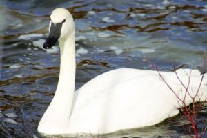 Trumpeter Swan by Lone---Wolf