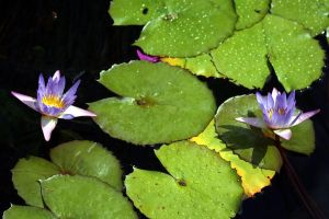 Water Lilies2 by deadrose333