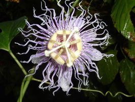 WILD passion flower by dproberts