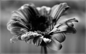 Grey Gerbera by DevchonkaLucky