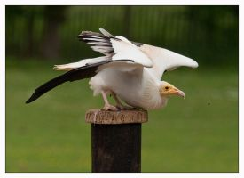 Egyptian Vulture by Alan-Stock-EP