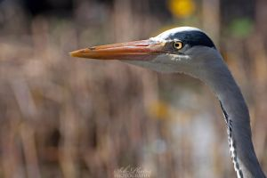 Heron's best side! by Seb-Photos