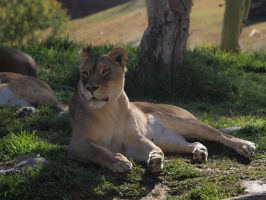 Lioness lounging by photographyflower