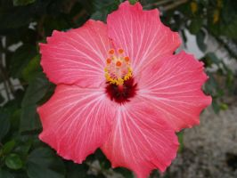 hibiscus by treehugginhippie