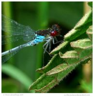 Red Eyed Damselfly by In-the-picture