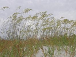 Sea Oats on Dunes by redtailhawker
