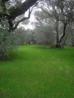 olive orchard 359 by twisted-angel-stock