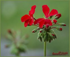 Geraniums by Gooiool