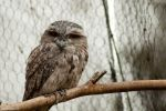 Tawny Frogmouth by daniellepowell82