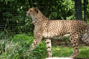 view to cheetah 3 by ingeline-art