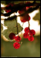 Sunny Redcurrants by Greyscale87