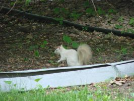 White Squirrel Stock 1 by Ahyicodae-stock