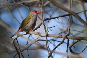 Red-browed Firetail by ajhaysom