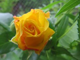 Yellow rose by annie812