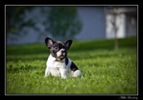 french bulldog 3 by mikkolo77