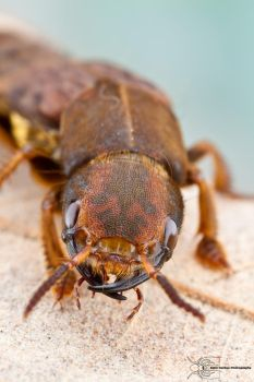 Rove Beetle - Platydracus maculosus by ColinHuttonPhoto