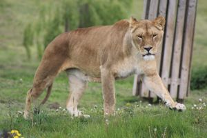 Lioness 9 by lucky128stocks