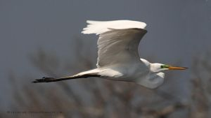 Egret At Cape Hatteras Marshes by pewter2k