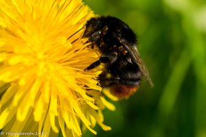 Bumble Bee by Hyperborean1987