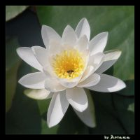 water lily by ar1anna