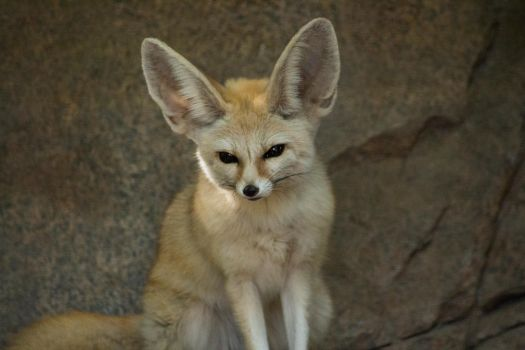 Fennec by trezoid