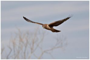 Northern Harrier: Hunting by arwulf