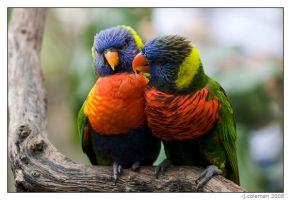 Rainbow Lorikeets - Preening by phantom42