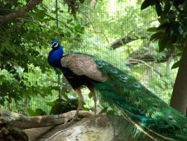 Peacock 115_2972 by Sharp-Stock