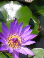 Water Lily by Sulimeth