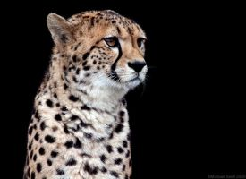 Cheetah 1 by Mick75