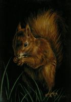 Red Squirrel by nudge1