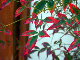 Red Edged Leaves by cdooginz