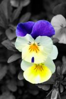 Viola tricolor III by ravanor