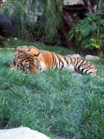 Sumatran Tiger 2 by JadedSphnix-Stock