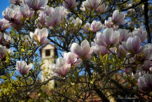 Magnolia (VII). by Phototubby