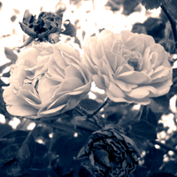 Antique Rose by Sizalle