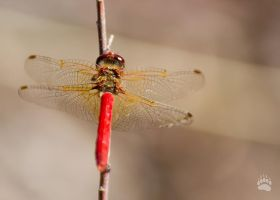 golden-winged dragonfly by Karup