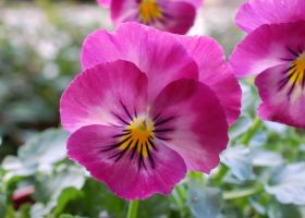 Patio Pansies by smfoley